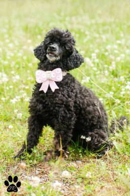Extra Small Light Pink Dotted Dog Bow