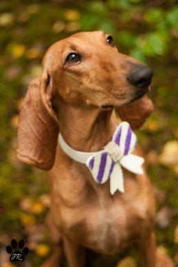 Striped dog bow
